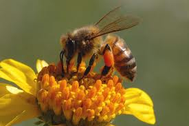 Bee Pollen Health Benefits