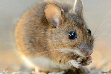 How to Get Rid of Mice and Avoid Health Issues